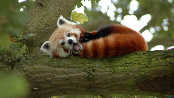 2. Red pandas use their bushy tails as blankets to help keep warm.