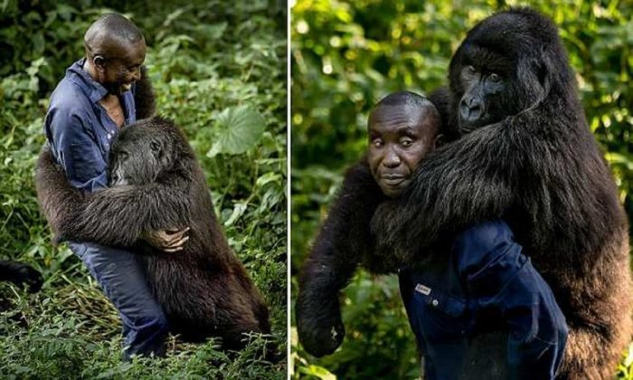 The Caretaker Of The National Park Of Congo Got Himself An Unusual Friend (6 Photos)