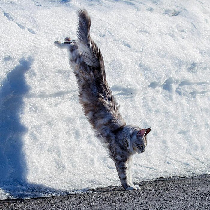 Maine Coon Cats - Funny Little Tigers (43 Photos)