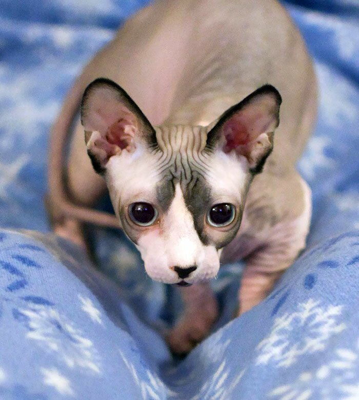 Who Said Sphynx Cats Are Nasty Creatures? They Are The Very Charm! (40 Photos)