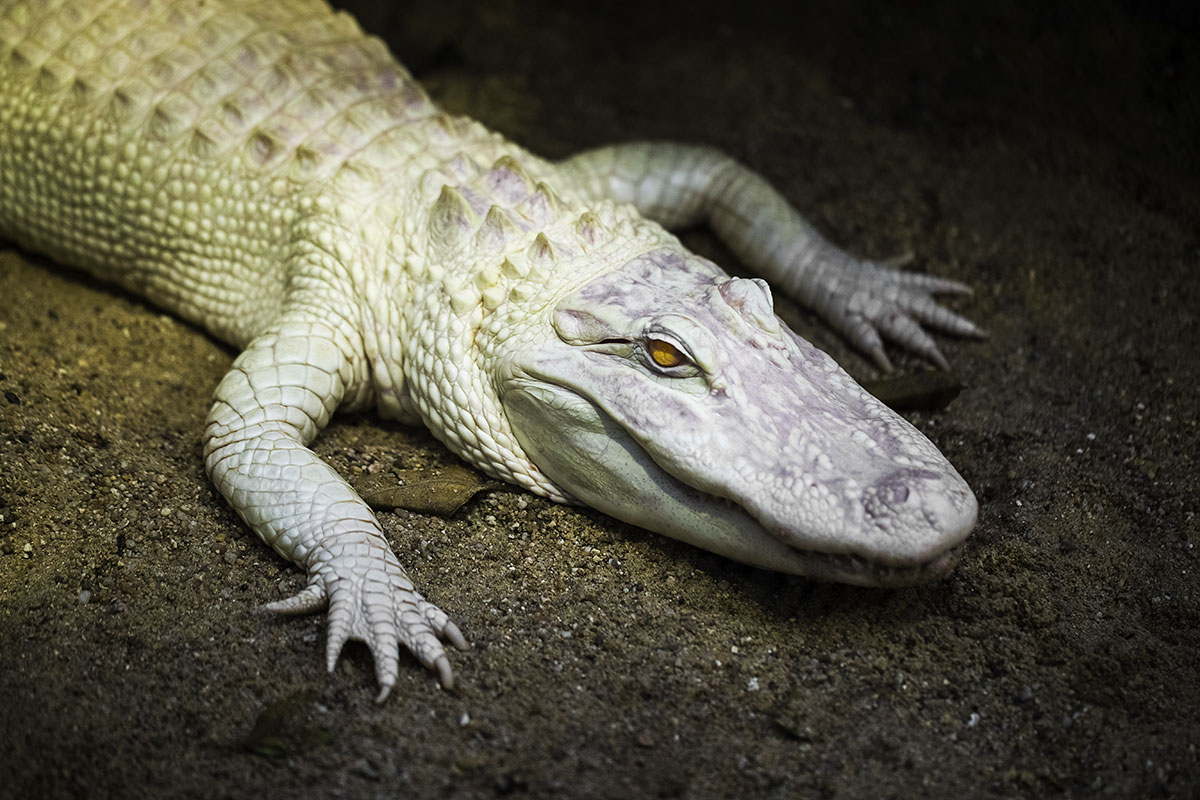8 Fascinating Facts About Albino Alligators